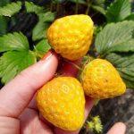 Hạt giống dâu tây vàng kỳ diệu