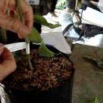 Kỹ thuật chiết – Ghép nhân giống Sầu Riêng - ghep cay an trai 340x160 150x150