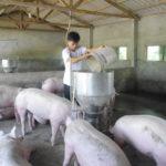 Những câu hỏi thường gặp về sự liên quan giữa thức ăn và chất lượng thịt heo - heo an 150x150