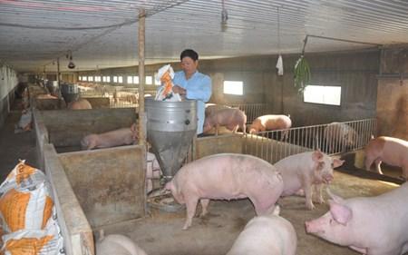 Ảnh hưởng của cám cho heo con cai sữa đến hiệu quả kinh tế - heo con an cam1