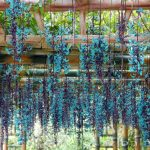 Kinh nghiệm trồng và chăm sóc hoa móng cọp xanh - hoa mong cop xanh 01 150x150