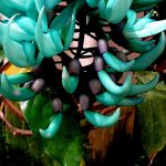 Hoa Móng Cọp quý hiếm - hoa mong cop xanh1 150x150