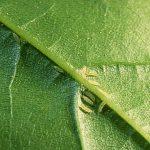 Bọ trĩ, bù lạch gây hại ở cây trồng & cách phòng trị bọ trĩ, bù lạch - hoinuoitrong5 150x150
