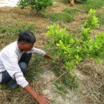 Kỹ thuật trồng và chăm sóc cây Chanh Đào - img 3134 jpg 150x150