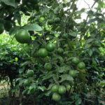 Làm sao để cây chanh đào ra nhiều trái? - ky thuat cham soc chanh dao 150x150
