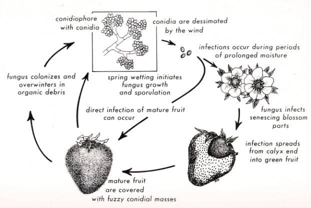 Cách phòng bệnh ở cây dâu tây - moc xam dau tay1