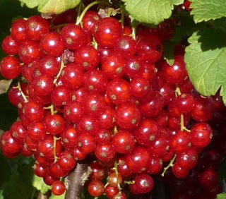 Cách trồng và chăm sóc nho chuỗi ngọc - nho chuoi ngoc o viet nam gia 2 trieu dong kg o chau au chi la cay moc bui d253db6ed8