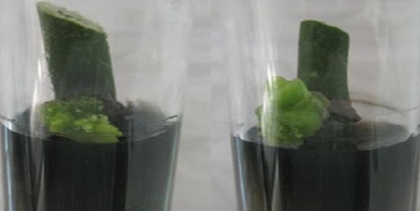 Kỹ thuật nuôi cấy đỉnh sinh trưởng - nuoi cay dinh sinh truong 1