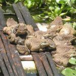Phòng và trị một số bệnh thường gặp trên ếch nuôi - phong va tri mot so benh thuong gap tren ech nuoi 150x150