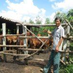 Thu nhập cao nhờ kết hợp trồng rừng, nuôi bò - thu nhap cao nho ket hop trong rung nuoi bo 150x150