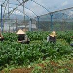 Tiền tỷ từ trồng rau bó xôi