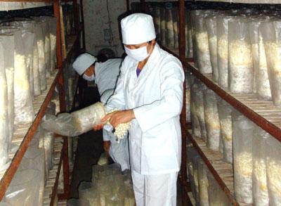 Kỹ thuật trồng nấm kim châm kết hợp Airocide - trong nam kim cham voi airocide