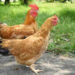 Bệnh Lơ-cô ở gà - vac xin phong ngua benh newcastle benh ga ru 1461344234 150x150