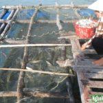 Nuôi cá bóp trên đảo - 55925c1f871f3 150x150