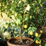 Kỹ thuật trồng chanh tại gia