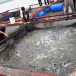 Mô hình nuôi cá chẽm trong lồng
