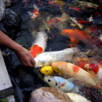 Mô hình nuôi cá Koi - 567a41ce52d09 150x150