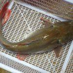 Mô hình nuôi cá lăng nha trong hồ thủy điện - 568c48772f345 150x150