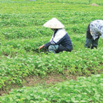Mô hình trồng cây ngưu tất - 5693c6dfd1800 150x150