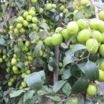 Mồ hình trồng táo trên đất chua mặn