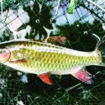 Mô hình nuôi cá bỗng - 56e8fa2580f24 150x150