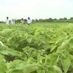 Kỹ thuật trồng cây gai xanh, phần 3: Sản xuất cây giống