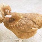 Bệnh Niu-cát-xơn ở gà: nhận biết và phương pháp phòng, trị - benh niu cat xon o ga nhan biet va phuong phap phong tri 150x150