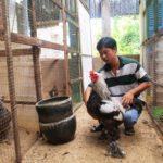 Mô hình nuôi gà kỳ lân 'vua của các loài gà'
