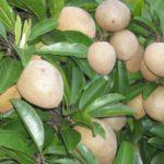 Ghép nhân giống Hồng Xiêm xoài - hong xiem xoai 150x150