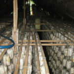 Hướng dẫn kỹ thuật trồng nấm bào ngư trên mùn cưa