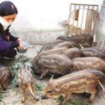 Kinh nghiệm nuôi lợn rừng lai - kinh nghiem nuoi lon rung lai 150x150