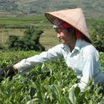 Kỹ thuật thu hoạch, bảo quản và chế biến chè xanh an toàn - ky thuat thu hoach bao quan va che bien che xanh an toan 150x150