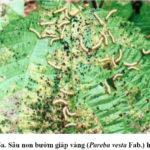 Kỹ thuật trồng cây gai xanh phần 5: Phòng ngừa sâu bệnh cho cây gai xanh - ky thuat trong cay gai xanh phan 4 phong ngua sau benh 1 150x150