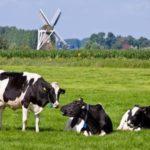 Ngộ độc ở bò sữa - ngo doc o bo sua 1455684507 150x150
