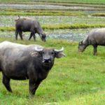 Nguyên nhân gây bệnh ung khí thán ở trâu bò - nguyen nhan gay benh ung khi than 1456375360 150x150