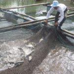 Kỹ thuật nuôi cá chẽm trong lồng - nuoi ca chem bang long o thach son 150x150
