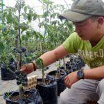 Ông chủ trẻ và vườn cà chua đen bạc tỷ