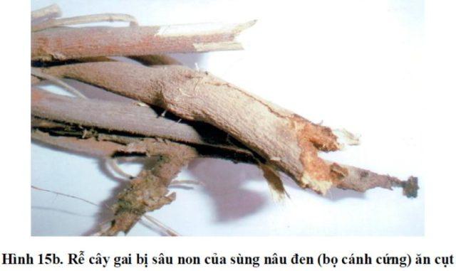 Phòng ngừa sâu bệnh cho cây gai xanh 3