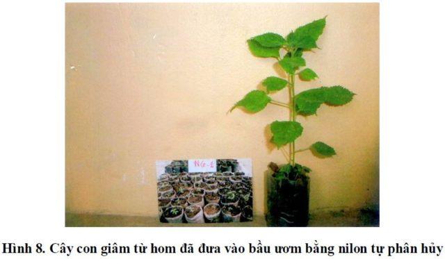Kỹ thuật trồng cây gai xanh, phần 3: Sản xuất cây giống - san xuat cay gai xanh con 1 640x373
