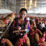 Phát triển chăn nuôi gà nông trại theo hướng chất lượng cao, bền vững - 113 150x150