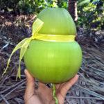Mô hình trồng dừa hồ lô