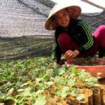 Mô hình trồng cà gai leo bằng công nghệ tưới tiết kiệm - 574697570a20a 150x150