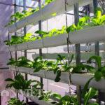 Mô hình trồng rau sạch từ xơ dừa