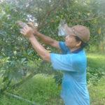 """Mô hình trồng cây Sapô """"Mêhicô"""" cho lợi nhuận cao - cay sapo mehico cho locca3i nhuacca3n cao 150x150"""