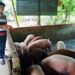 Làm giàu từ chăn nuôi heo sạch - download 150x150
