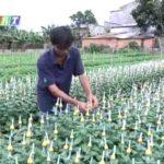 Video hướng dẫn kỹ thuật trồng hoa cúc - hqdefault 1 1 150x150