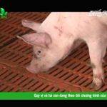 Kỹ thuật tiêm và truyền dịch cho lợn - hqdefault 1 150x150