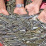 Kỹ thuật nuôi cá kèo - huong dan quy trinh ky thuat nuoi ca keo 1 150x150