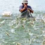 Mô hình nuôi tôm sạch sử dụng chế phẩm sinh học