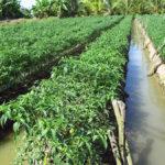 Video hưỡng dẫn kỹ thuật trồng ớt